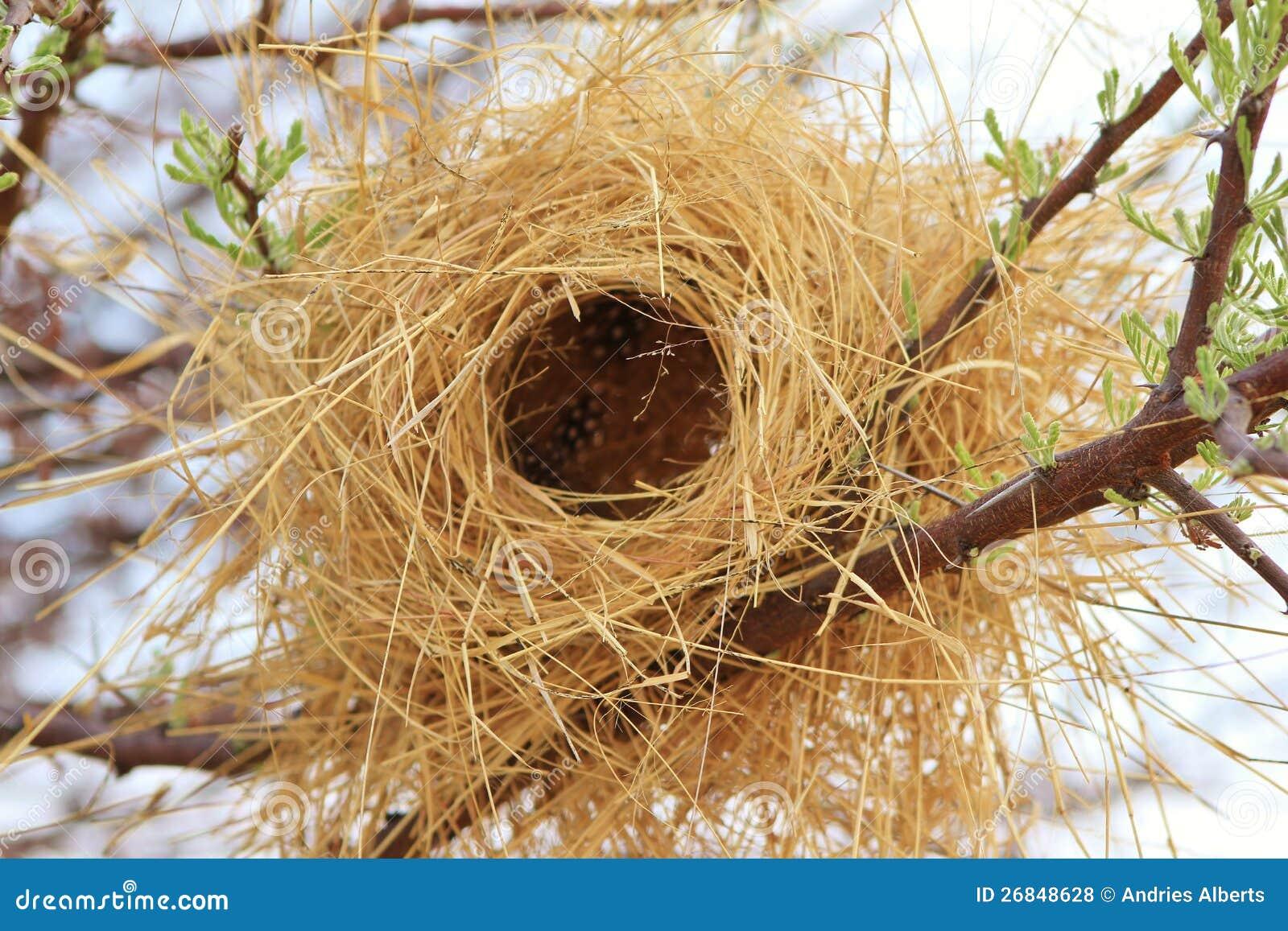 Birds Nest Buffalo Weaver Africa Royalty Free Stock