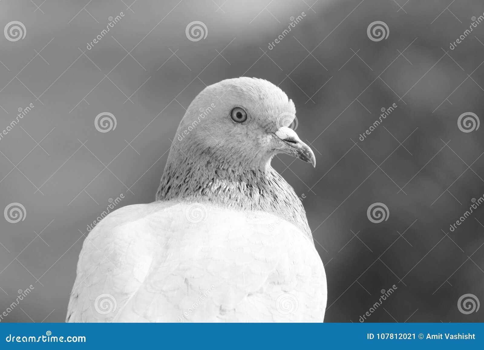 Bird`s Profile :Closeup of Pigeon looking Forward