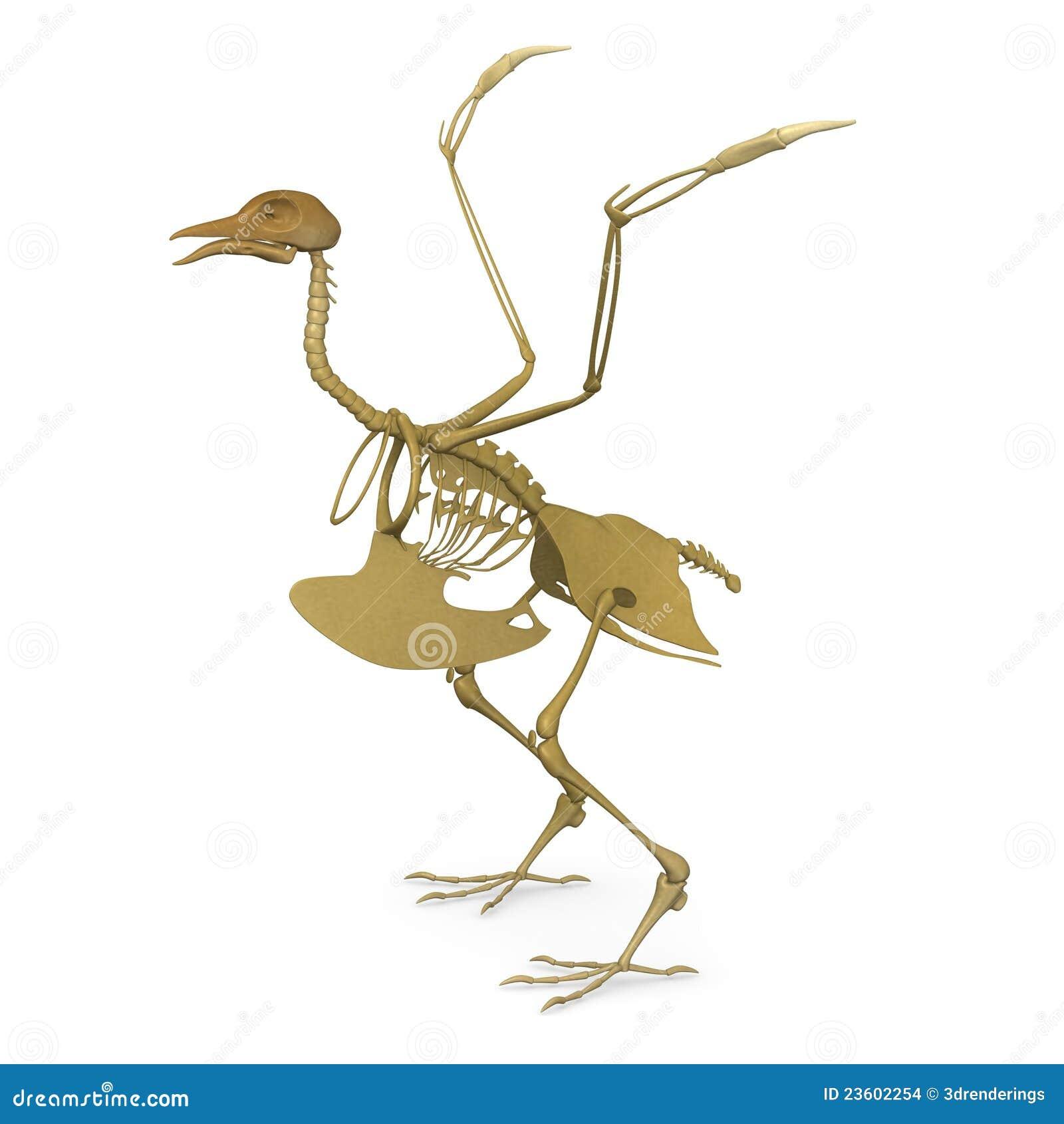 Bird skeleton stock illustration. Illustration of anatomy - 23602254