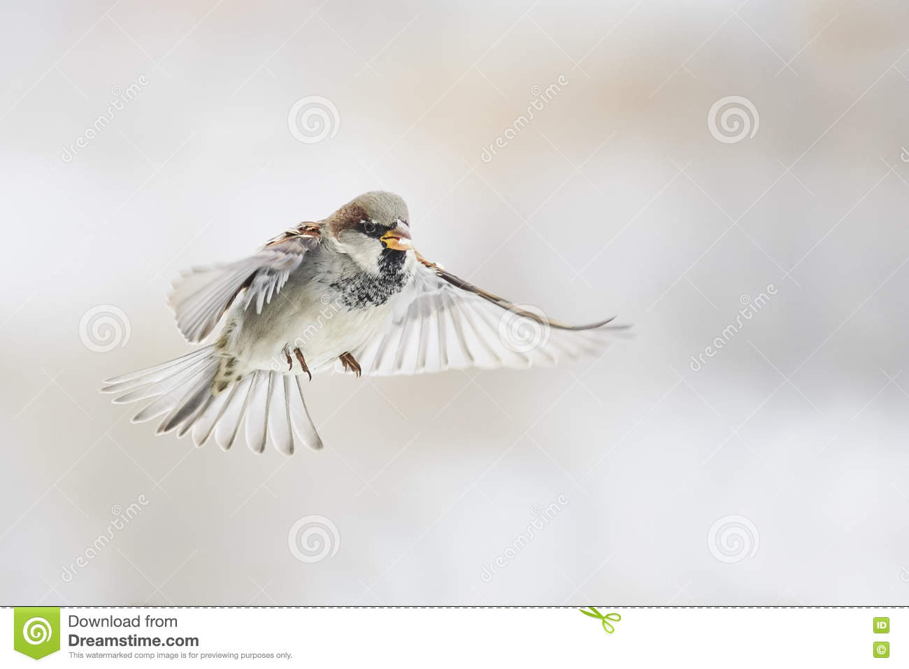 Bird Sparrow is flying straight in the sky