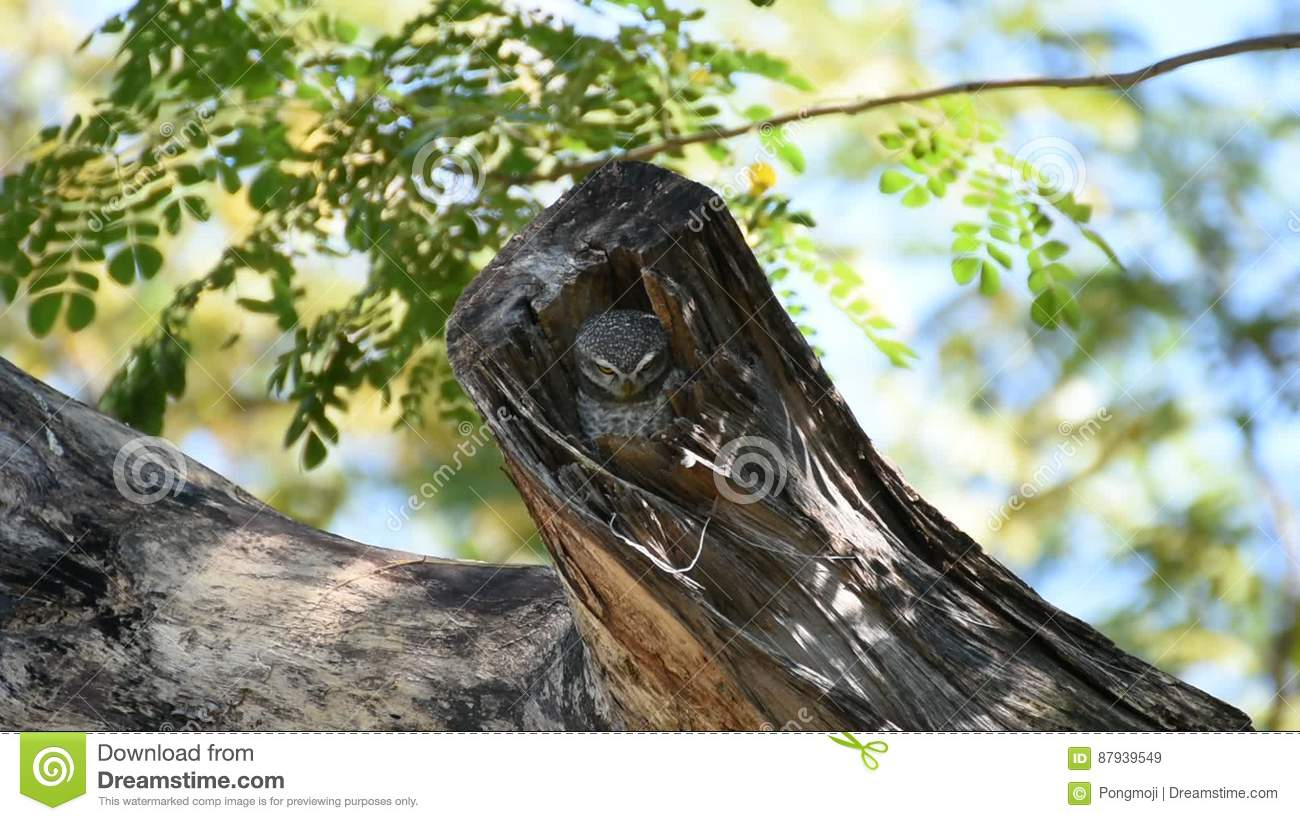 Bird Spotted Owlet, Owl In Hollow Tree Trunk Stock Video - Video of ...
