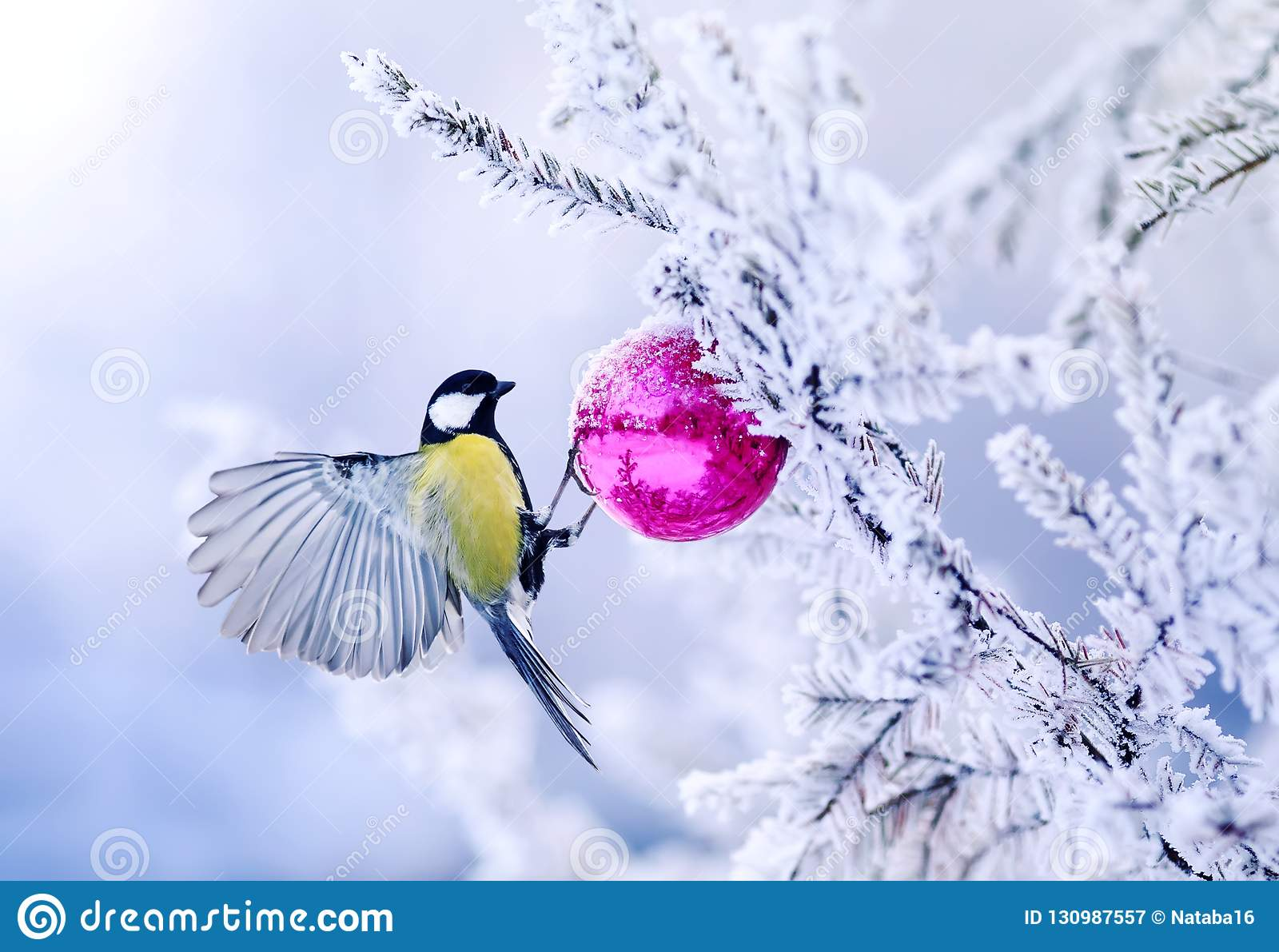 beautiful Christmas card bird tit on a branch of a festive spruce with shiny hoarfrost hanging on a New Year glass ball in the wi