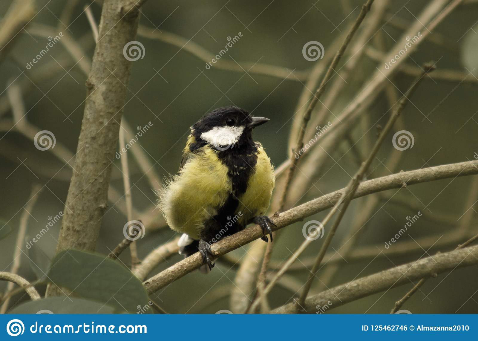 A bird, a yellow tit sat on branches