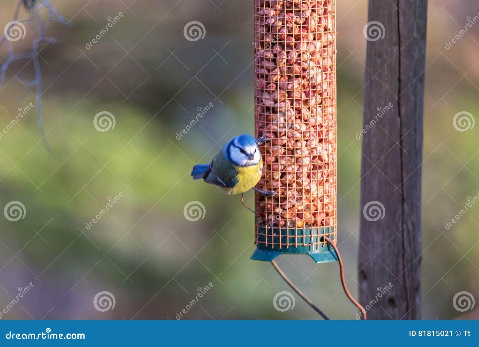 Birdfeeder с голубой синицей