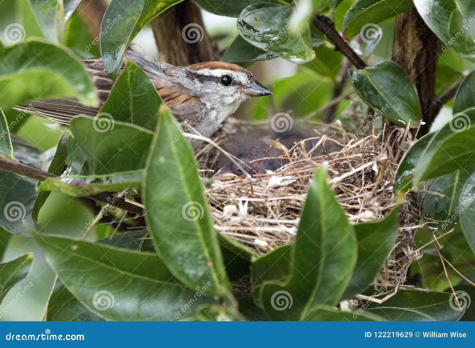 Birding Fütterungsvogelbabys der Schwirrammer in einem Nest, Georgia USA