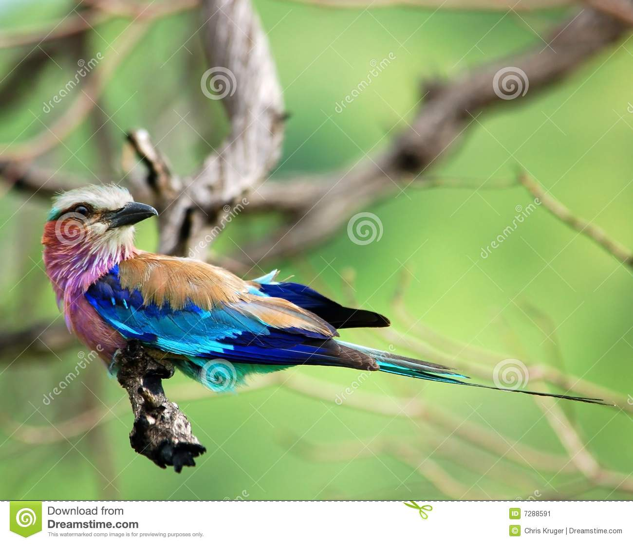 Birds of Africa: Lilacbreasted Roller