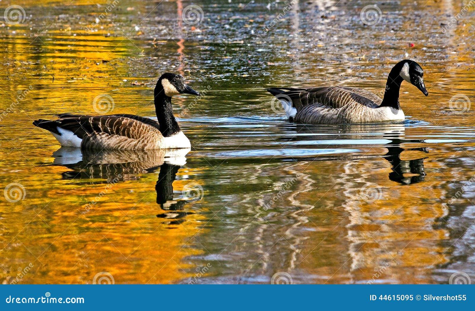 canada goose golden