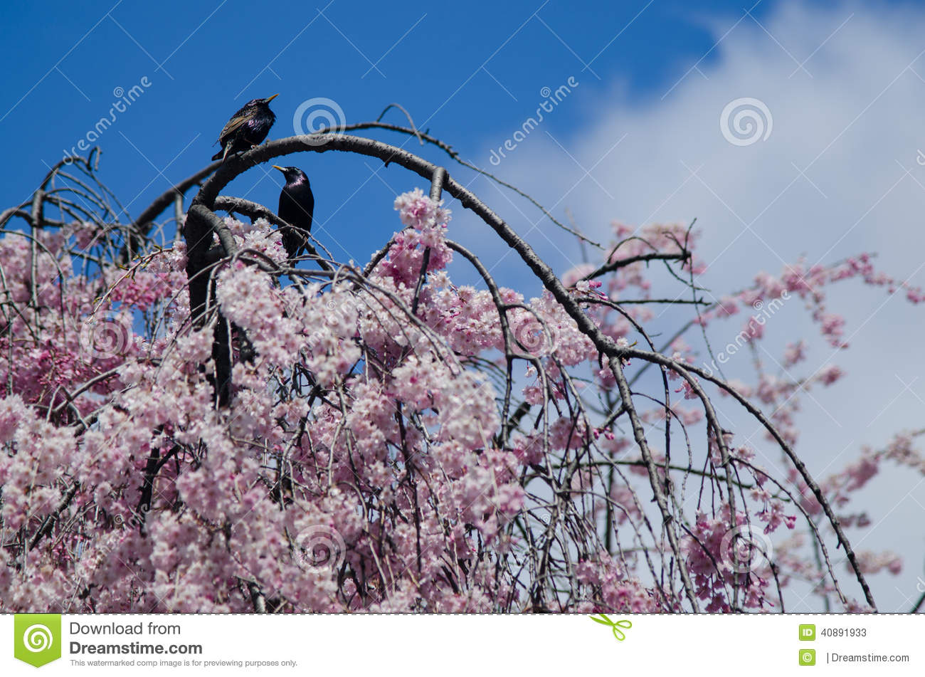 Birds On Blooming Cherry Tree Stock Image Image Of Blooms Cherry