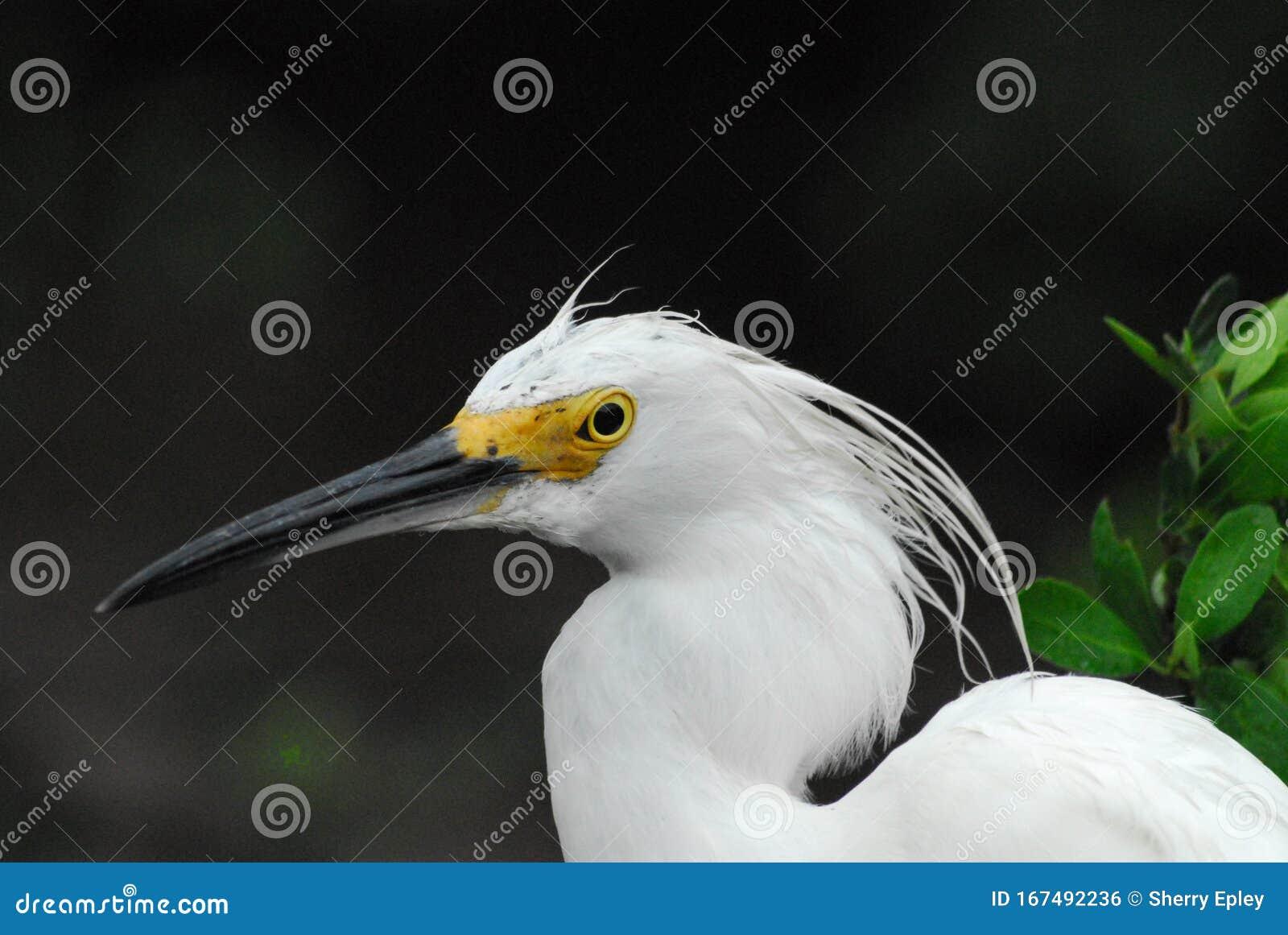 Birds Florida Close Up Portrait Of A Wild Snowy Egret Stock Photo Image Of Dark Close 167492236