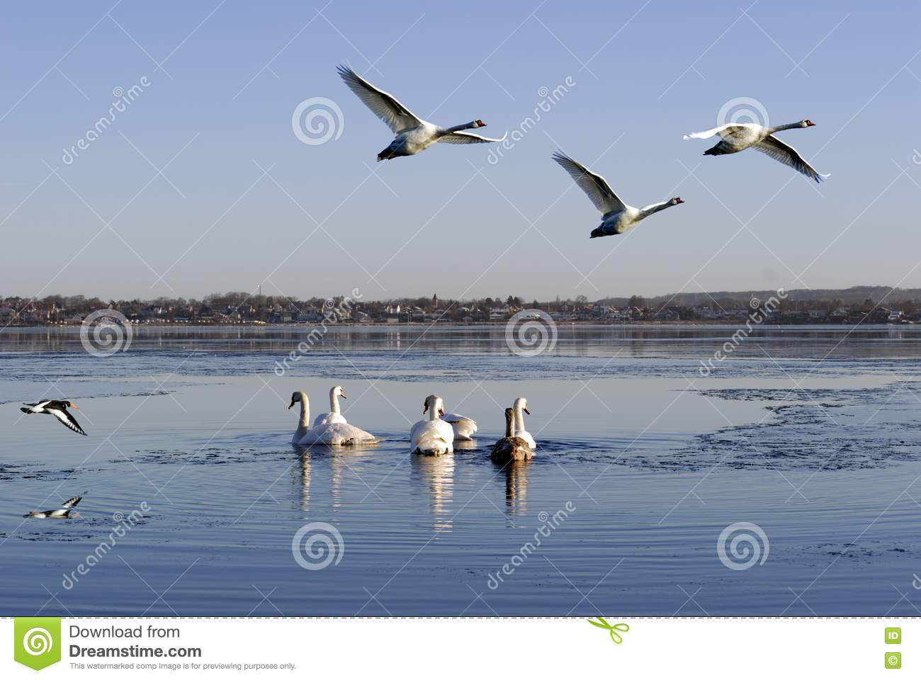 Stock Photography Birds Flying Swimming Image17683102