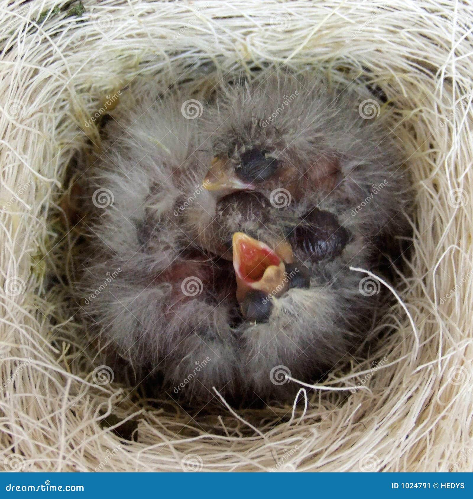 birds nest stock image image of babybirds nest birds 1024791. Black Bedroom Furniture Sets. Home Design Ideas