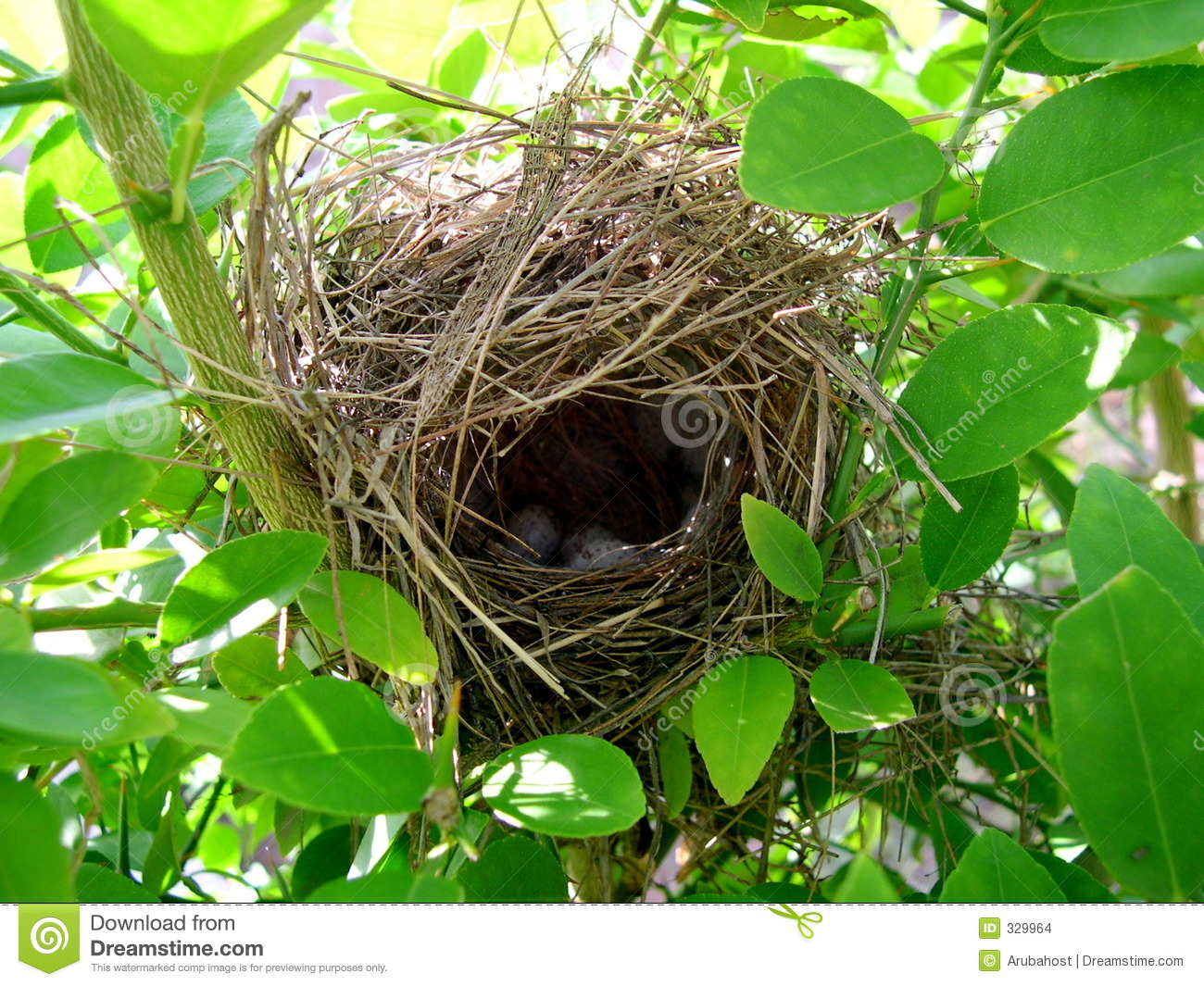 Birds nest in lime tree with couple of eggs inside