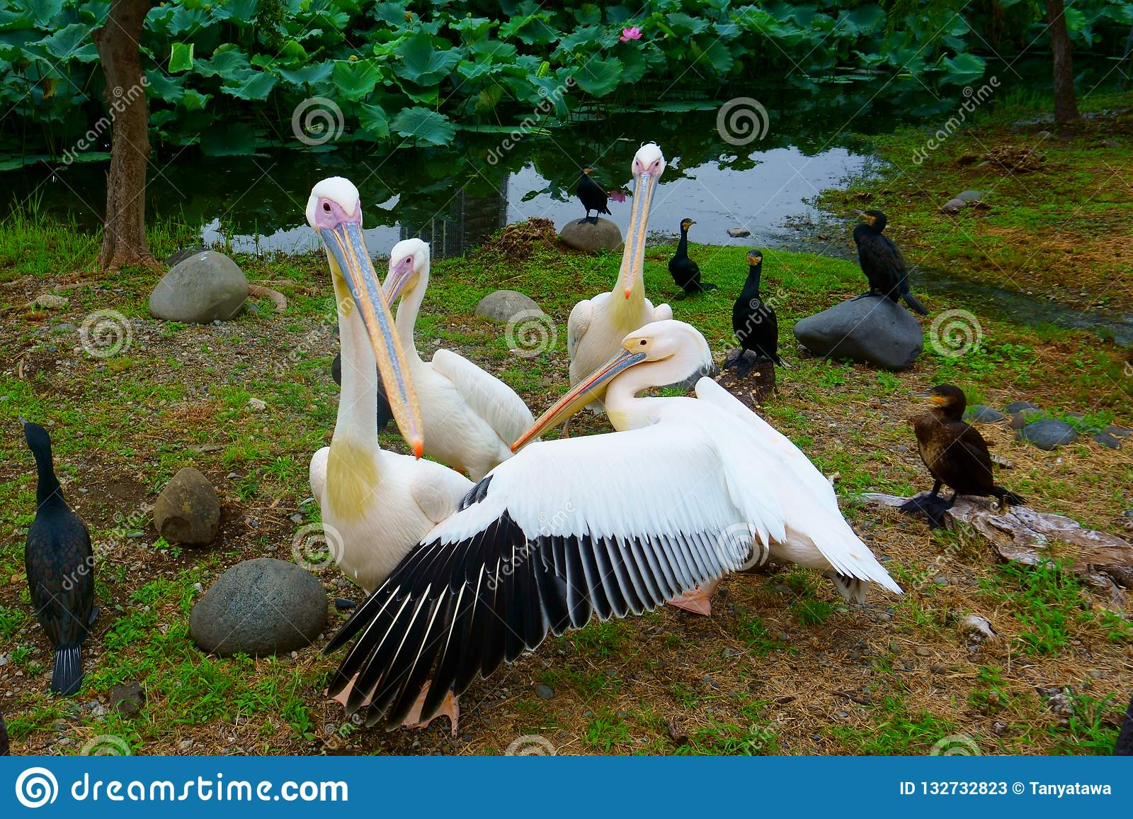 Birds pelicans ducks on shore of pond