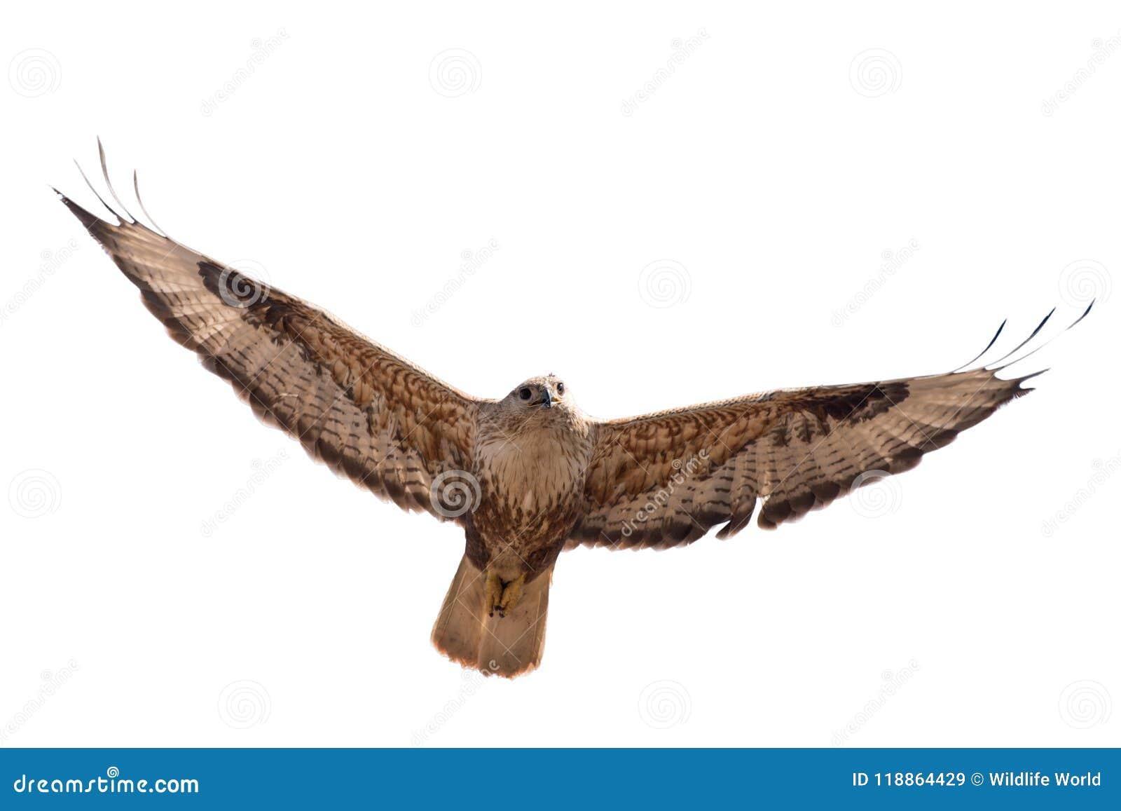 Birds of prey - Long legged buzzard (Buteo rufinus) in flight. Isolated on white