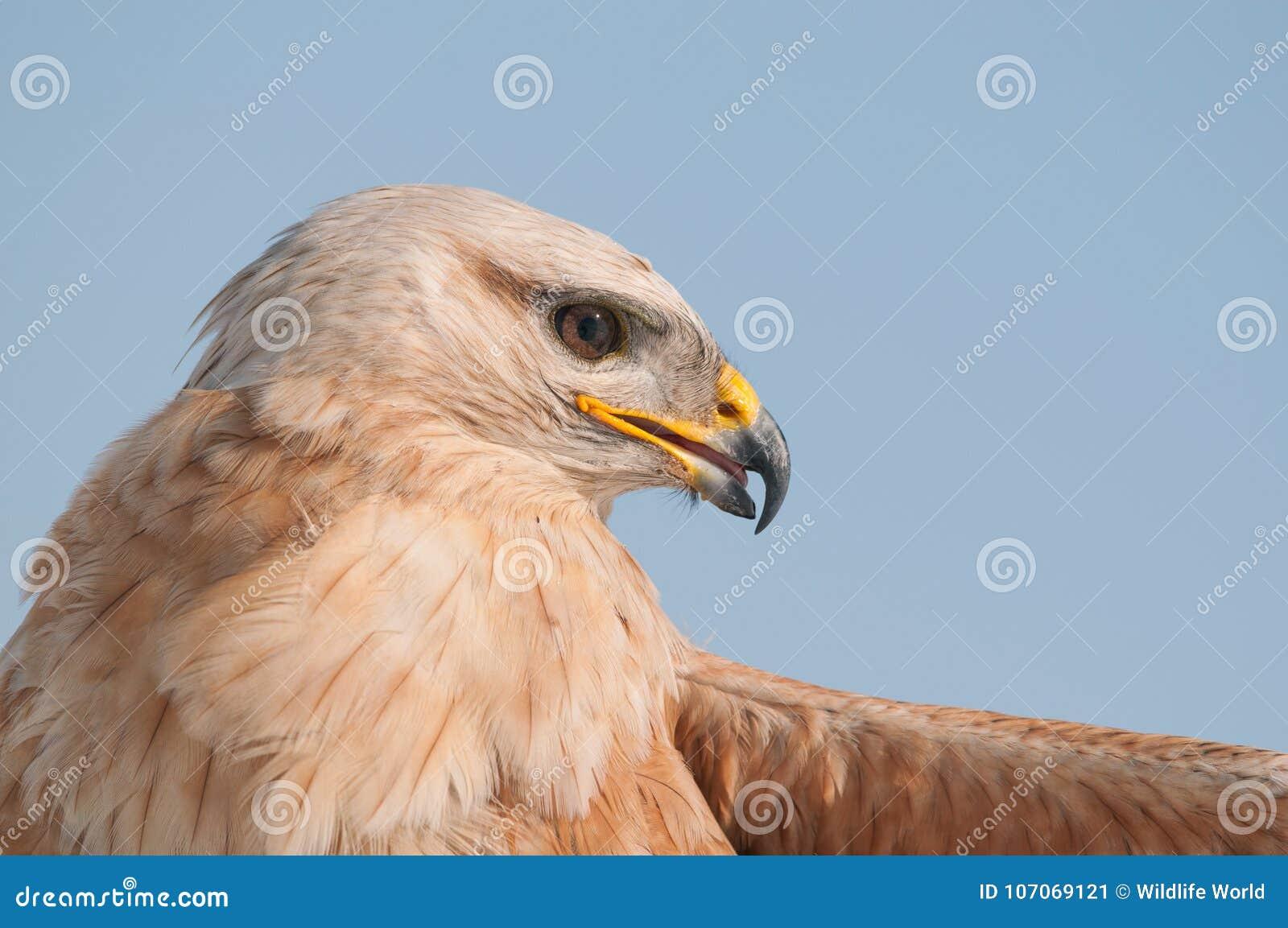 Birds of prey - Common Buzzard Buteo buteo in the sky. Close Up