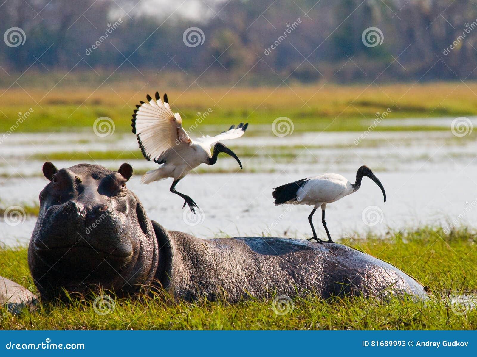 Birds are sitting on the back of a hippopotamus. Botswana. Okavango Delta.