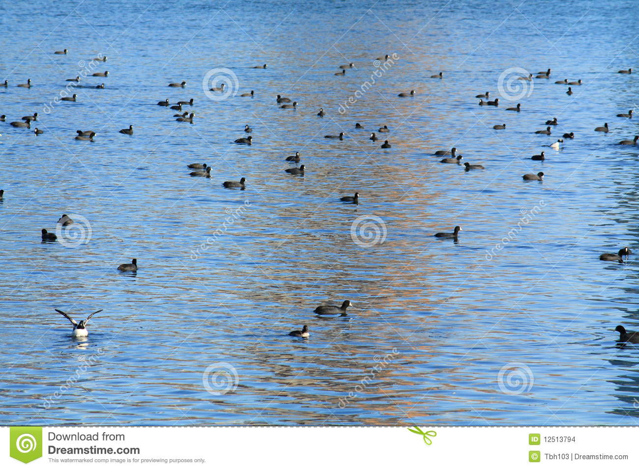 Birds Swimming In Lake Stock Images - Image: 12513794