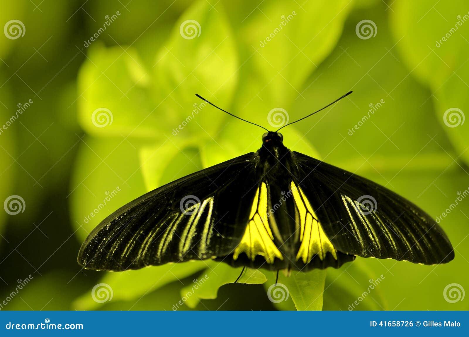 Birdwing бабочка