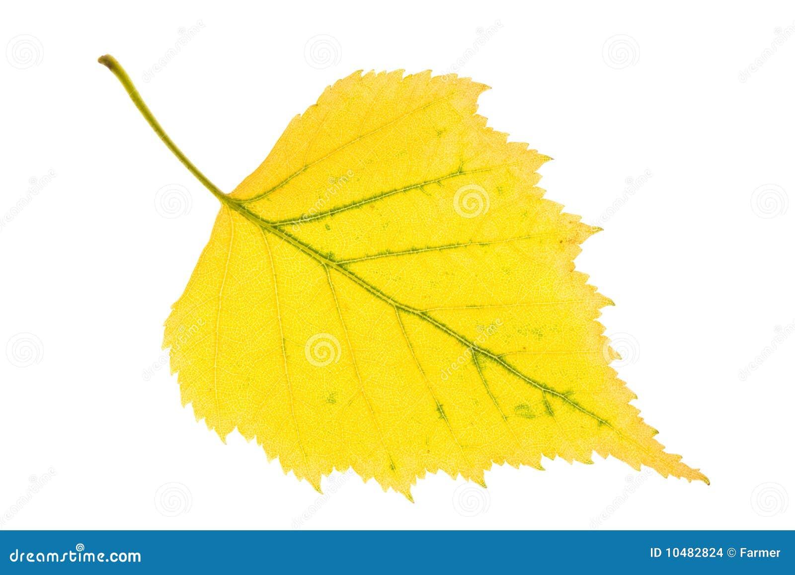 Листья березы осенью картинки