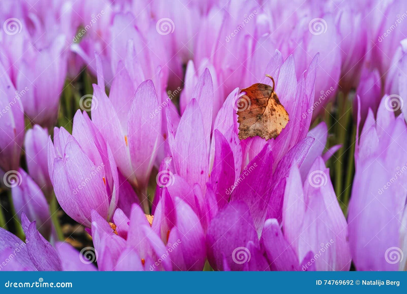 Birkenblatt Und Herbstzeitlosen Stockfoto Bild Von Blumenblatt