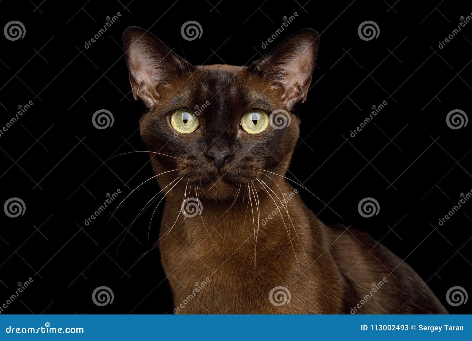 Birmański Kot Na Odosobnionym Czarnym Tle Obraz Stock Obraz