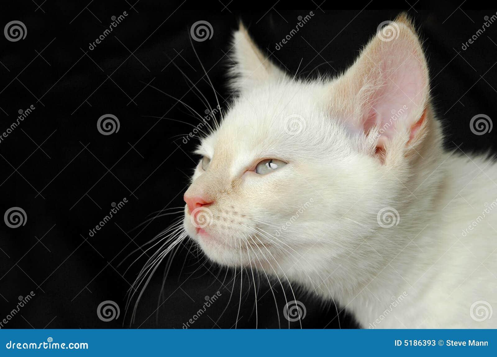 Birman котенок