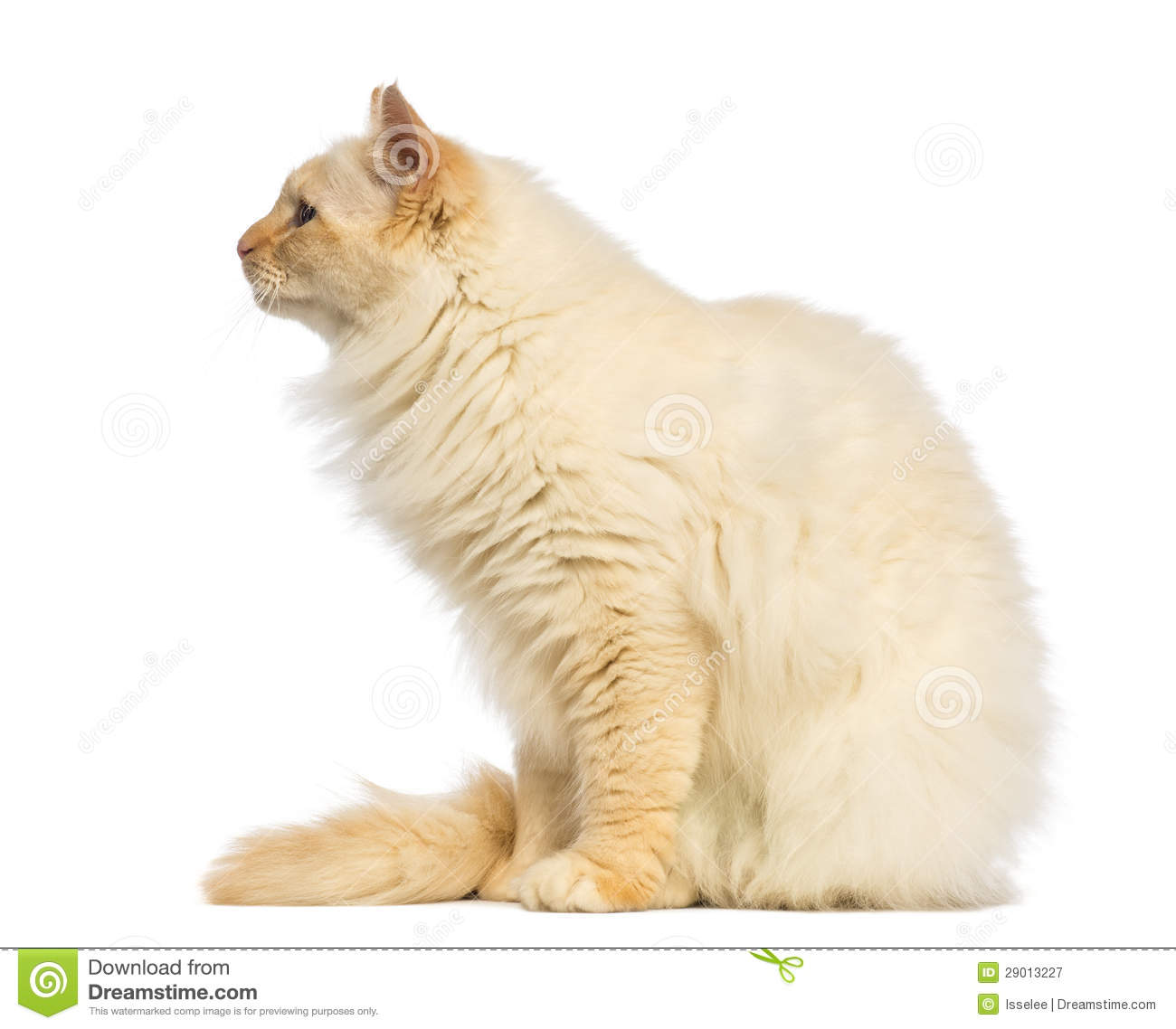 birman sitting and looking away  side view royalty free clipart kitchen clip art kitchen utensils