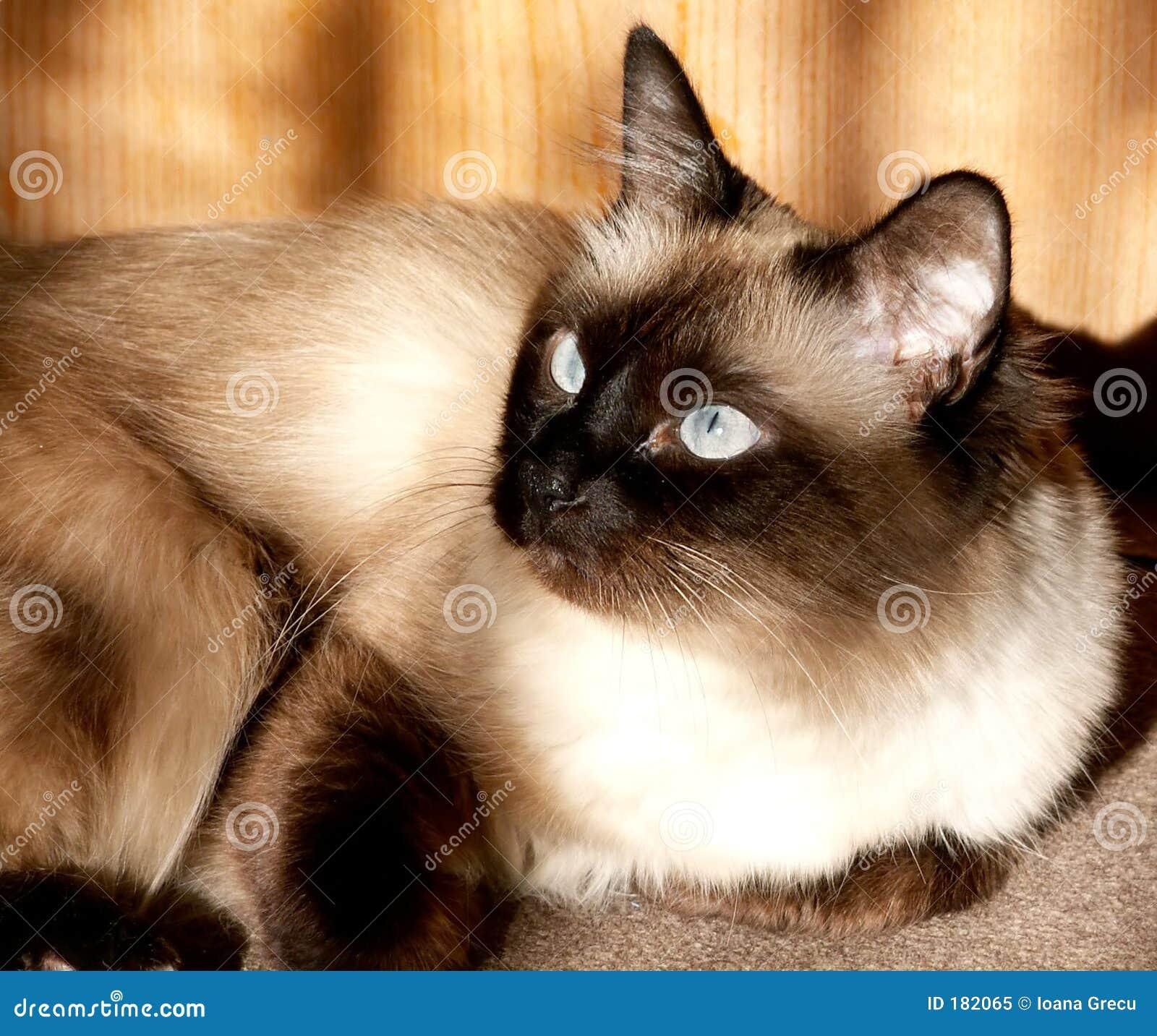 Birmanese猫星期日