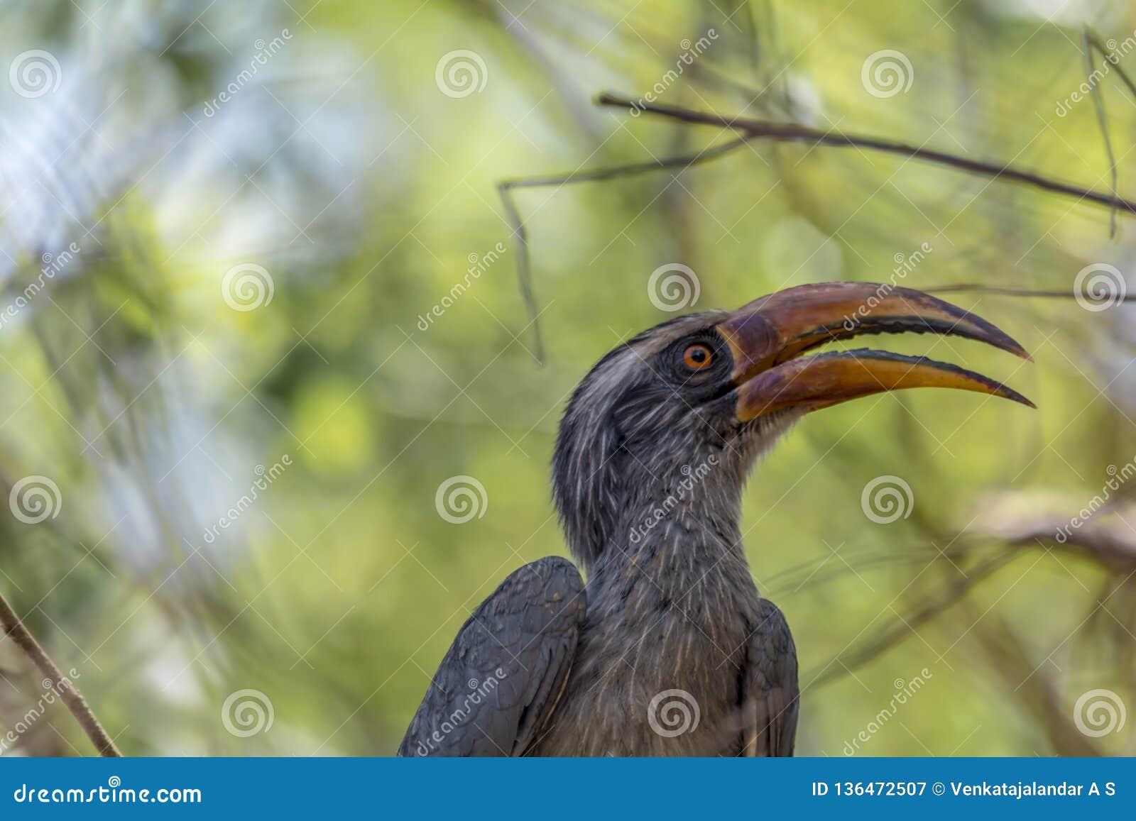 Birostris ou l Indien Grey Hornbill d Ocyceros