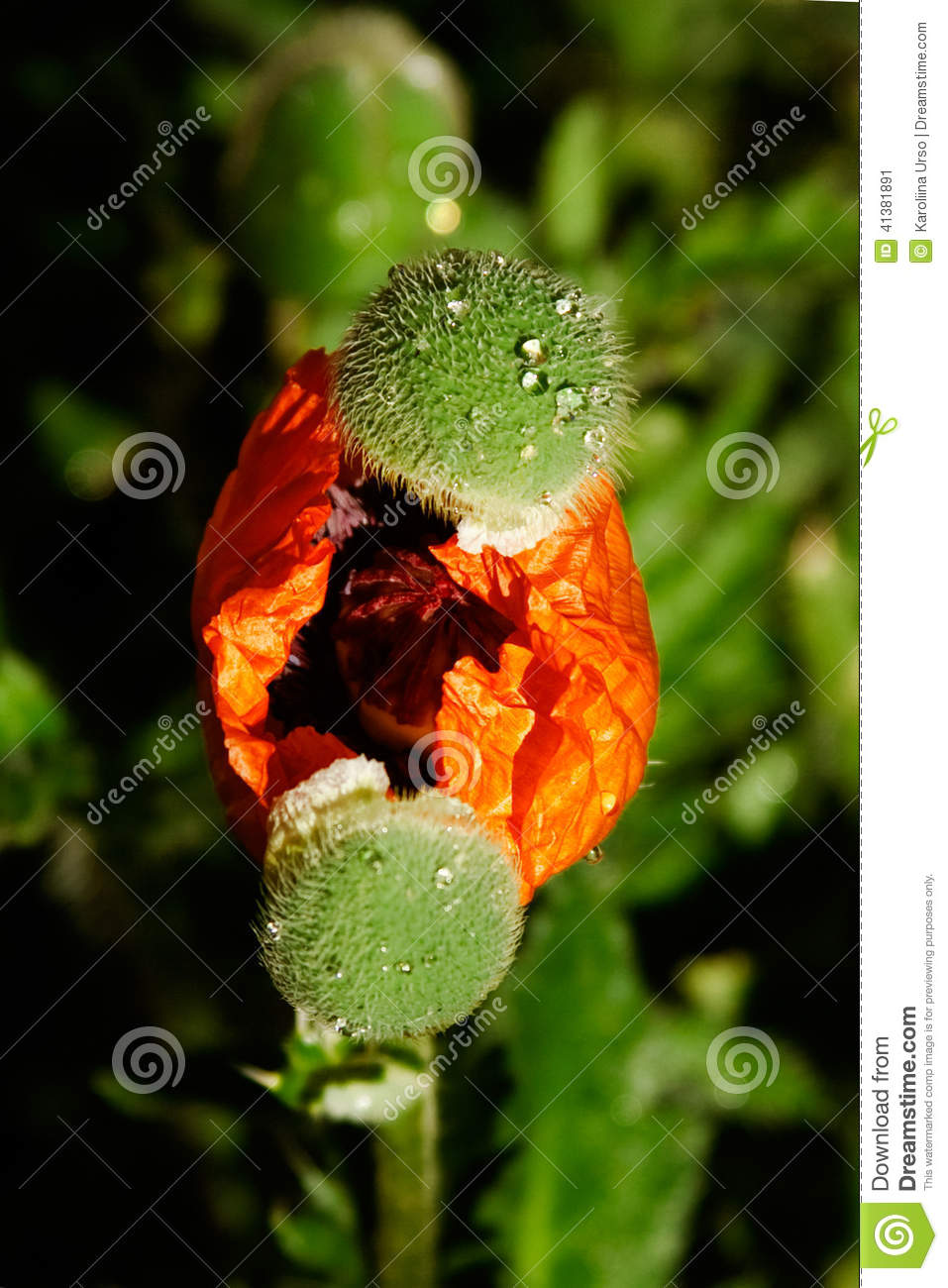 Birth Of A Poppy Stock Image Image Of Covers Seeds 41381891