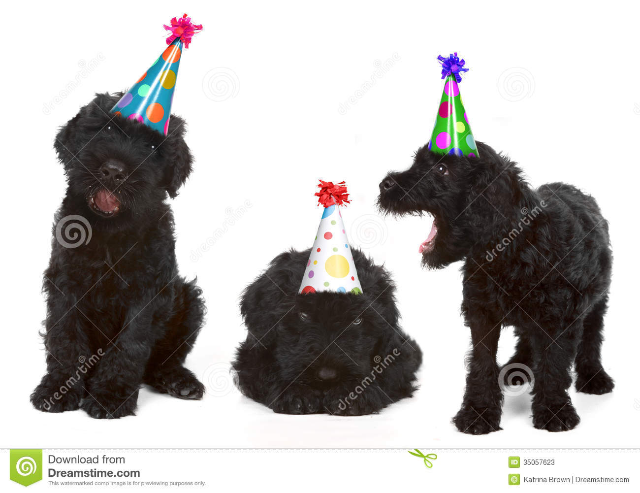 Silly Singing Black Russian Dog Terriers Wearing Birthday Hats.