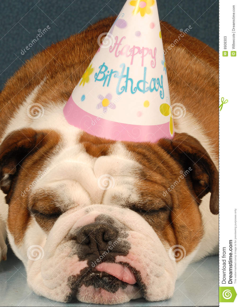 Party animal - english bulldog wearing birthday party hat on blue ...