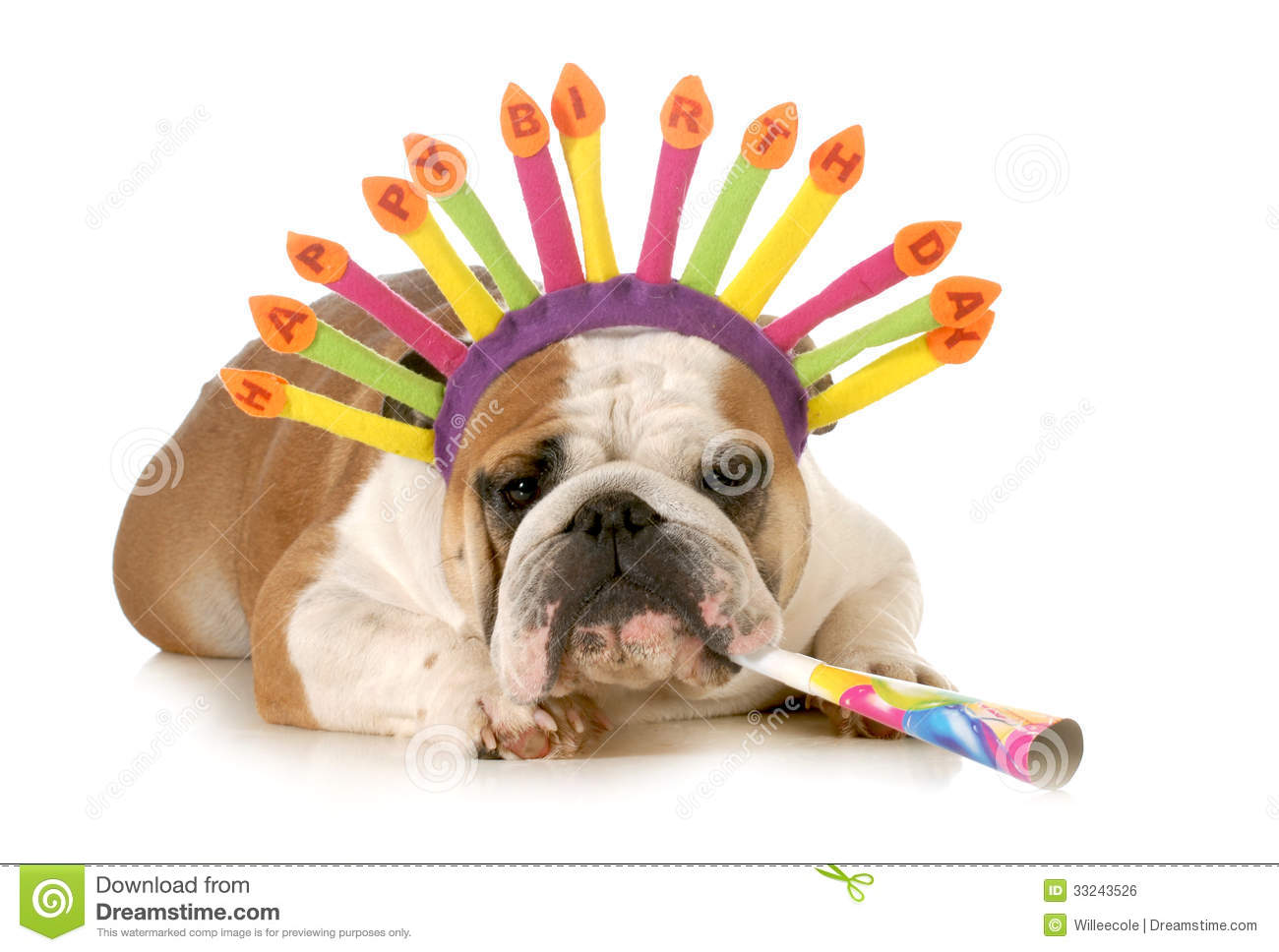 Birthday Dog English Bulldog Wearing Hat Blowing On Horn Isolated White Background Royalty