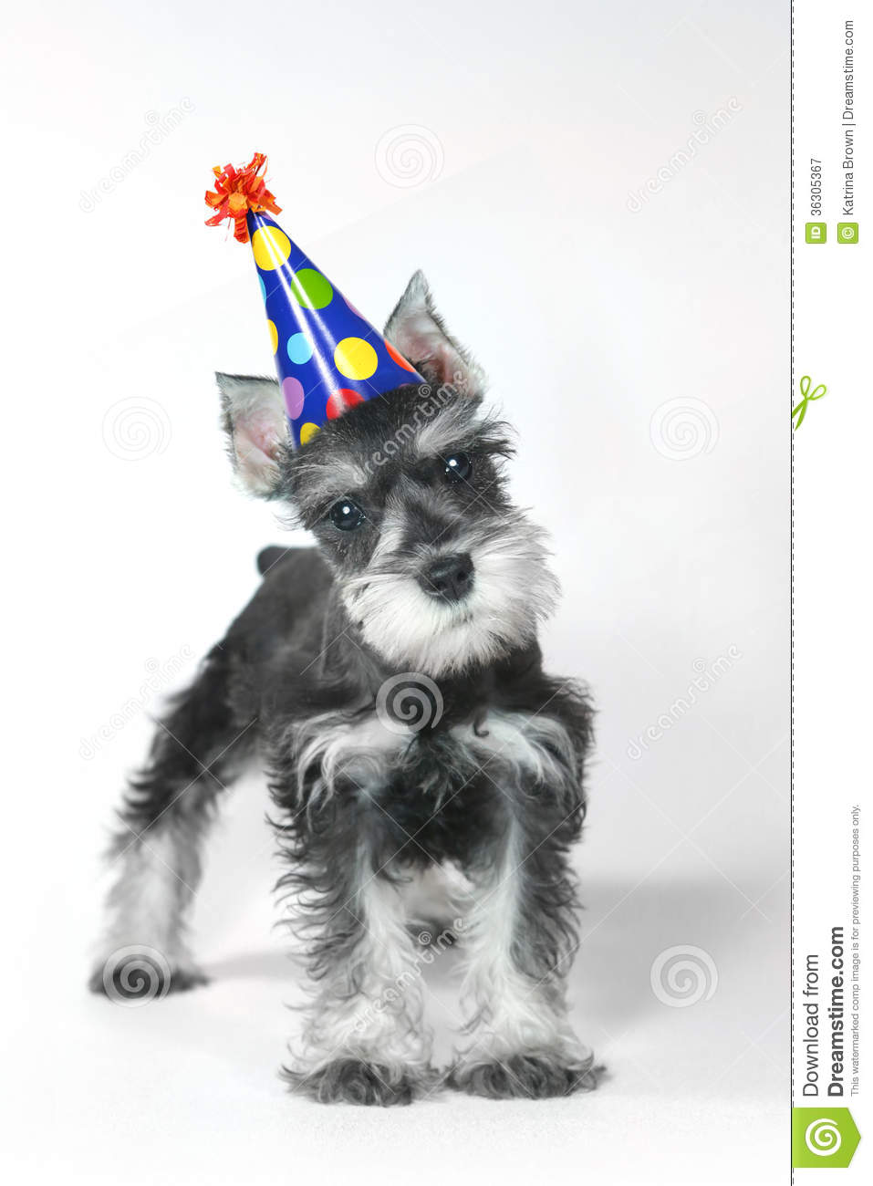 Birthday Hat Wearing Miniature Schnauzer Puppy Dog on White