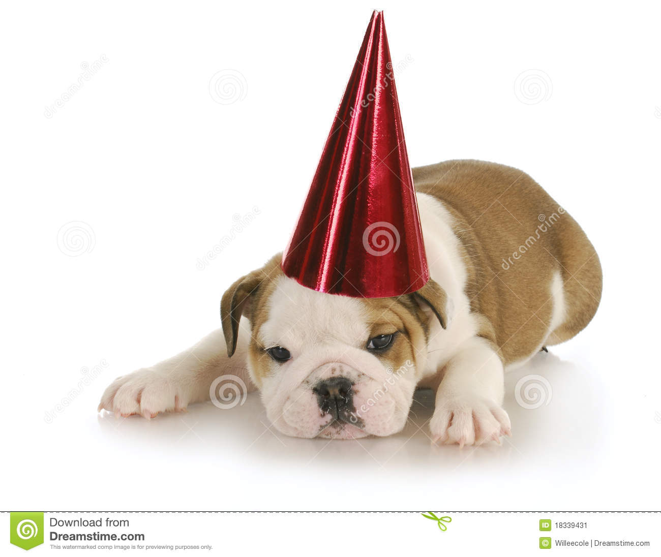 English bulldog wearing red party hat with reflection on white ...