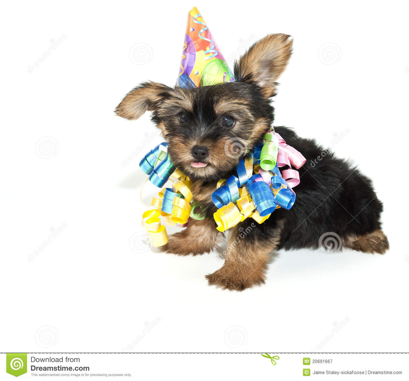 106 Birthday Yorkie Puppy Photos Free Royalty Free Stock Photos From Dreamstime