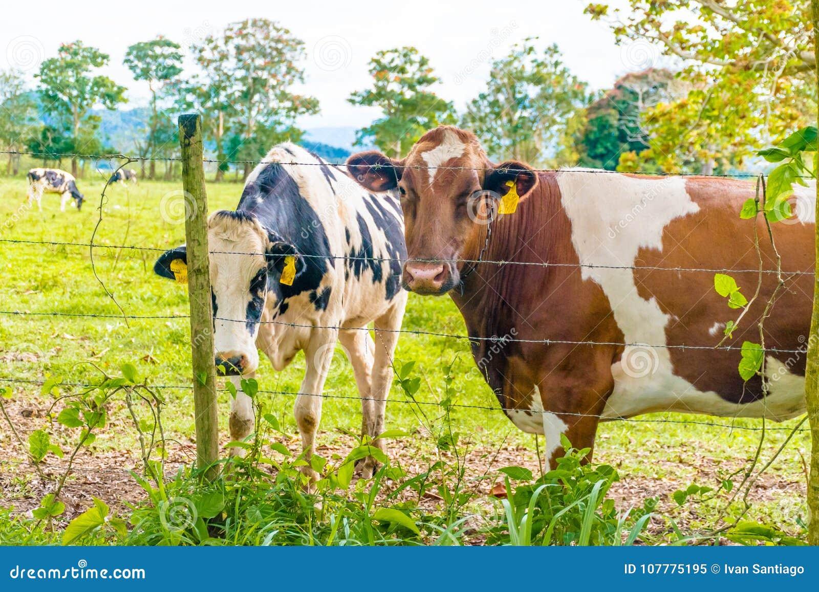 Biscotto di Oreo e vacca da latte del cioccolato