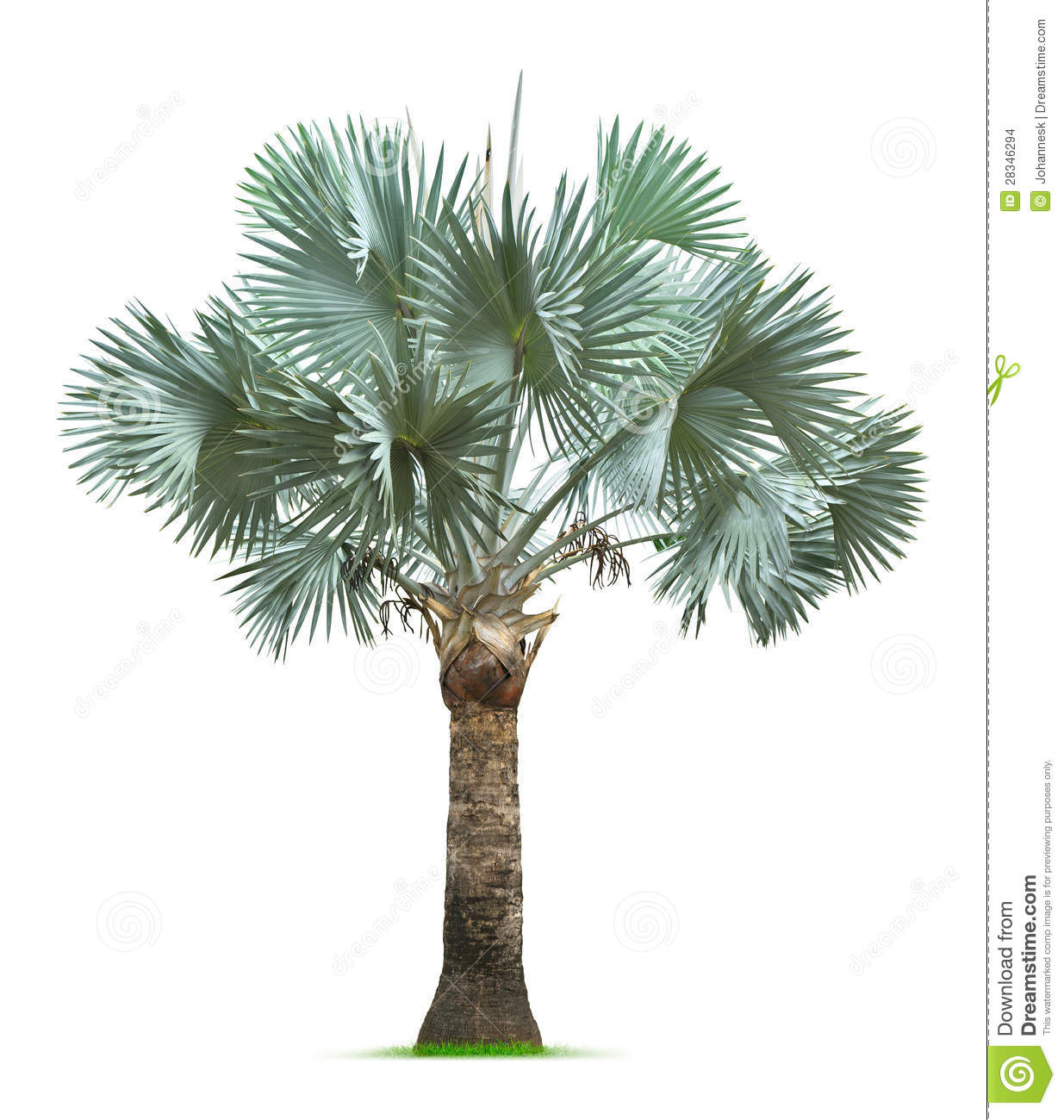 bismarck palm tree stock images image 28346294