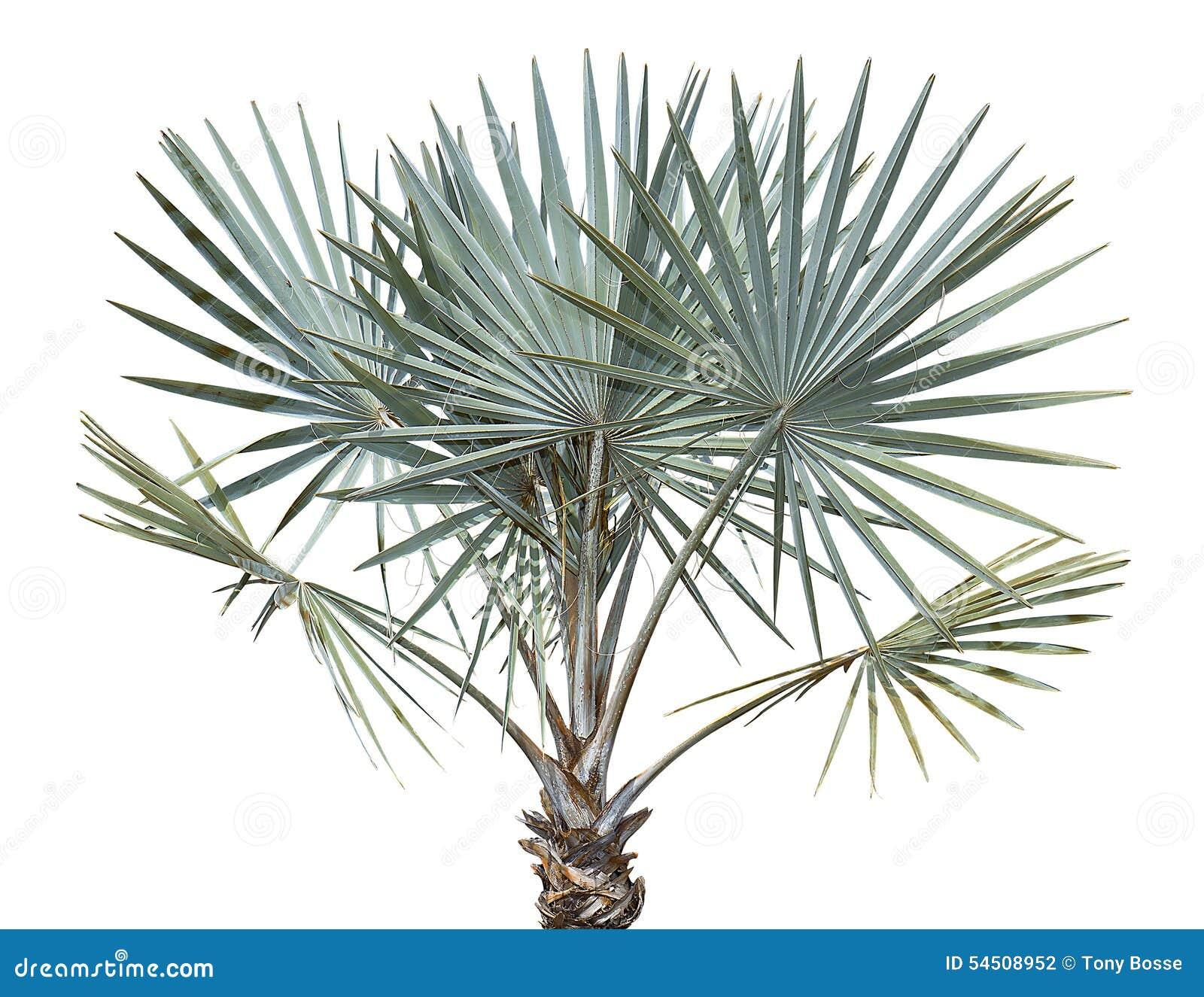 Bismarck palmträd