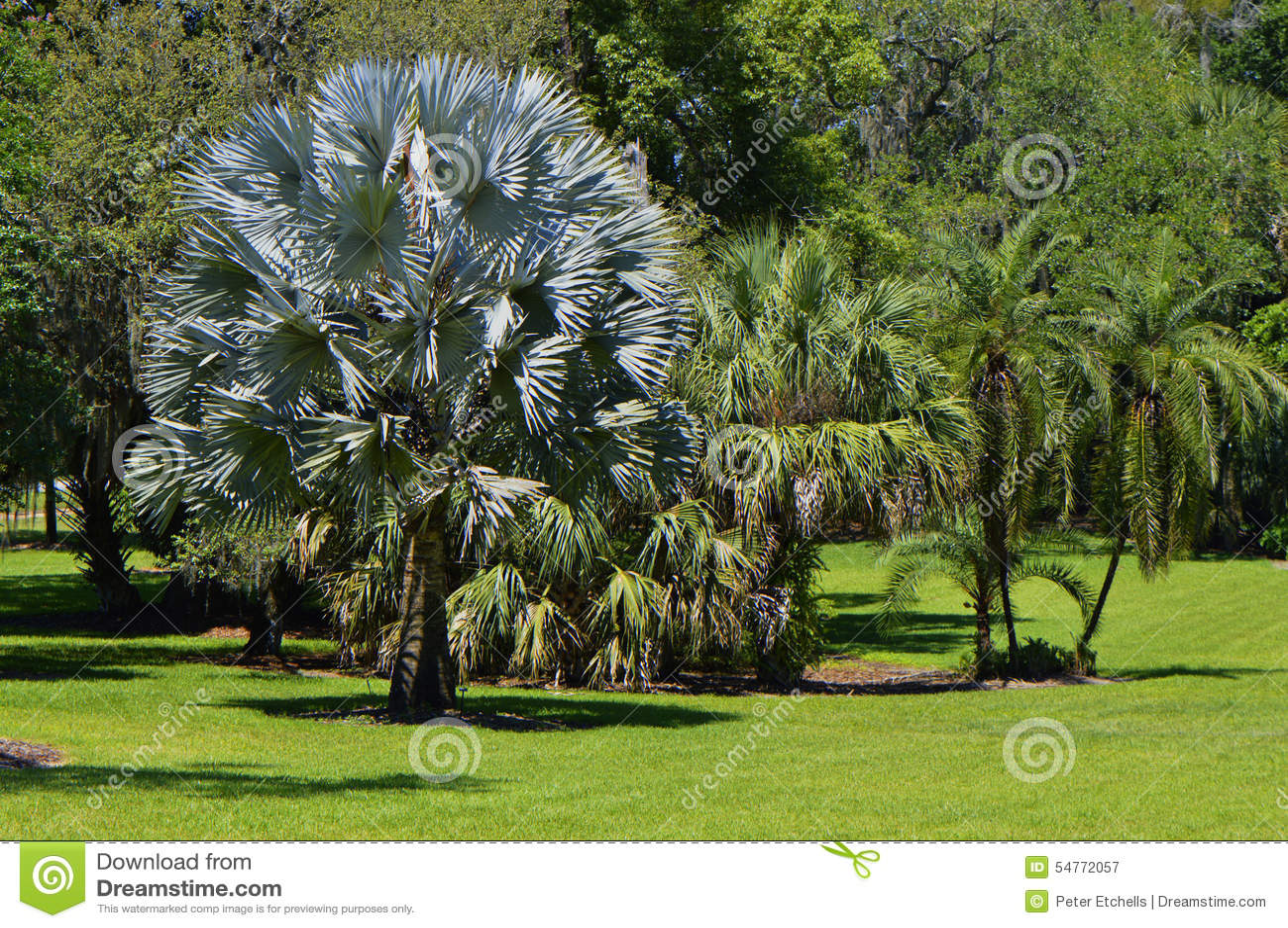 Bismark Palm Latin Name Bismarckia Nobilis Stock Image