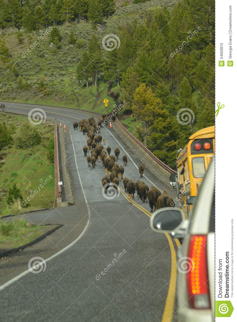 Bison aka Buffalo herd on a migration over a bridge in Yellowstone