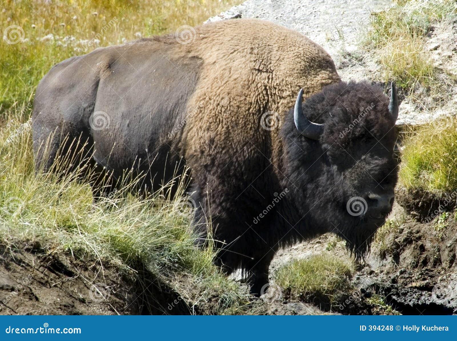 Bison américain