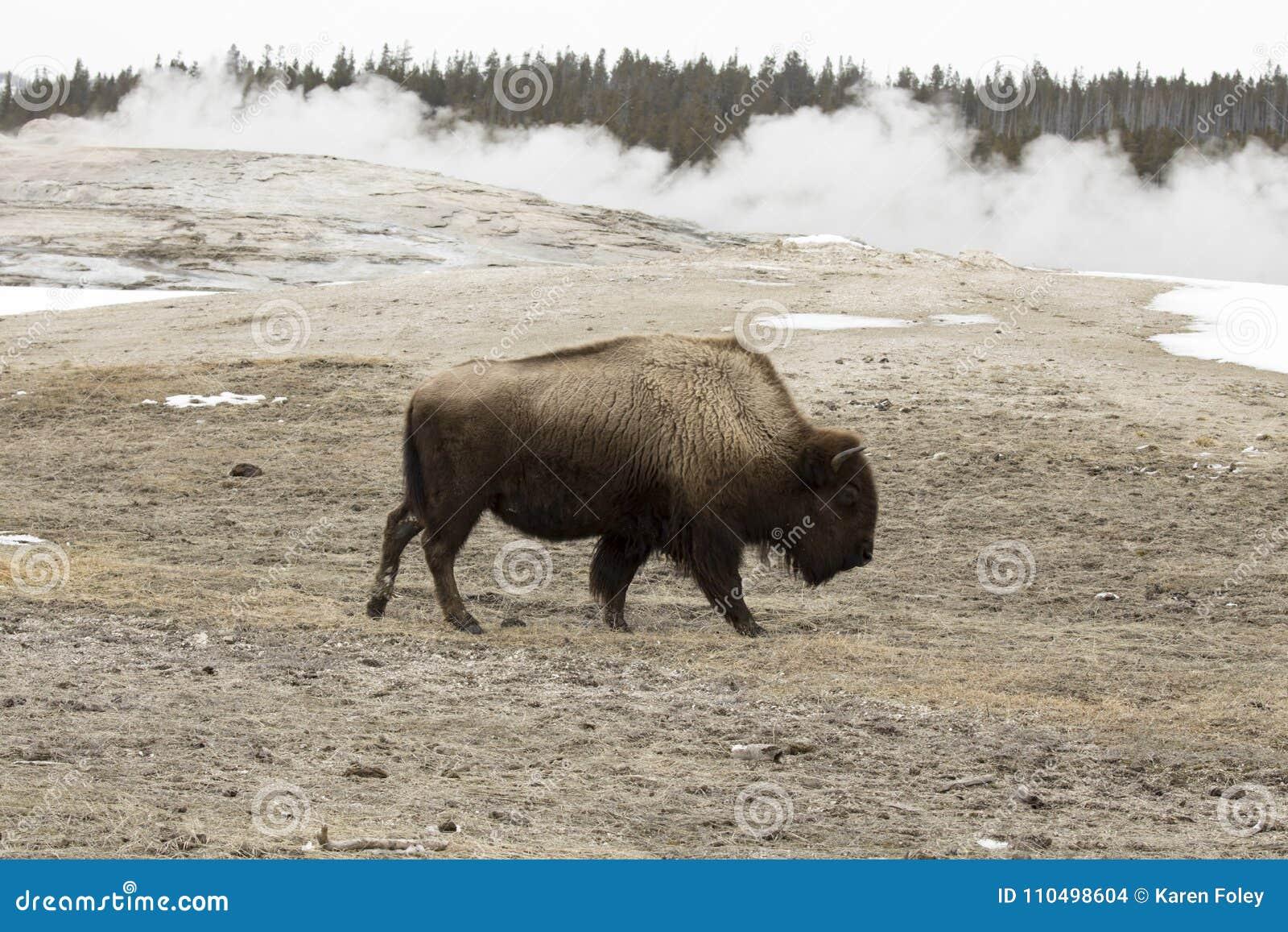 Bison Or American Buffalo Old Faithful Yellowstone
