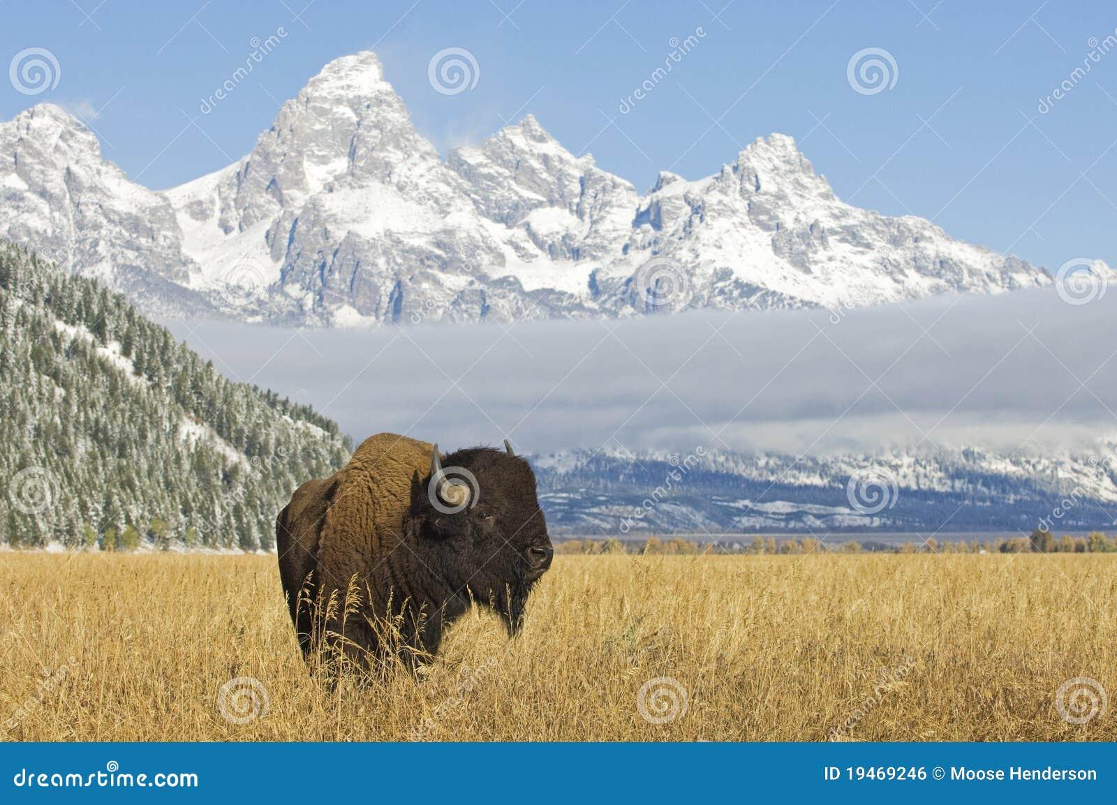 Bison bei großartigem Teton