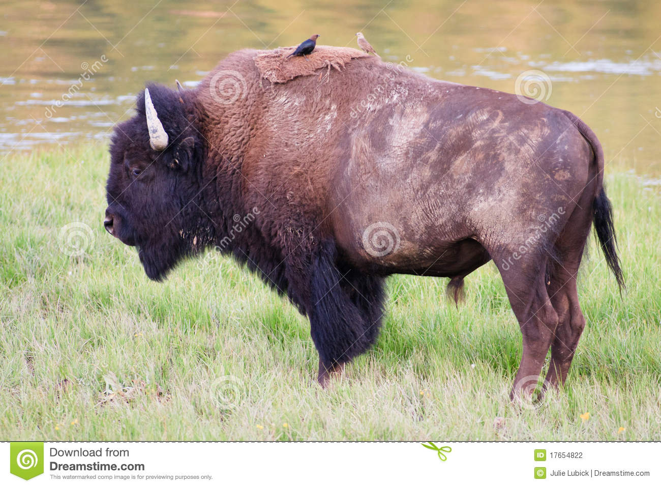 Download Bison With Brown-Headed Cowbirds Stock Photo - Image of male, meadow: 17654822