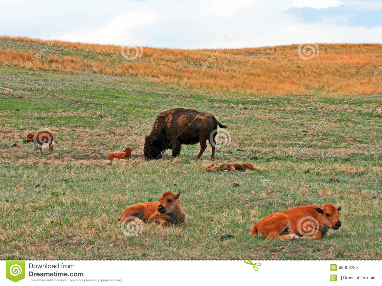 Bison Buffalo Cow with baby Caves in Custer State Park