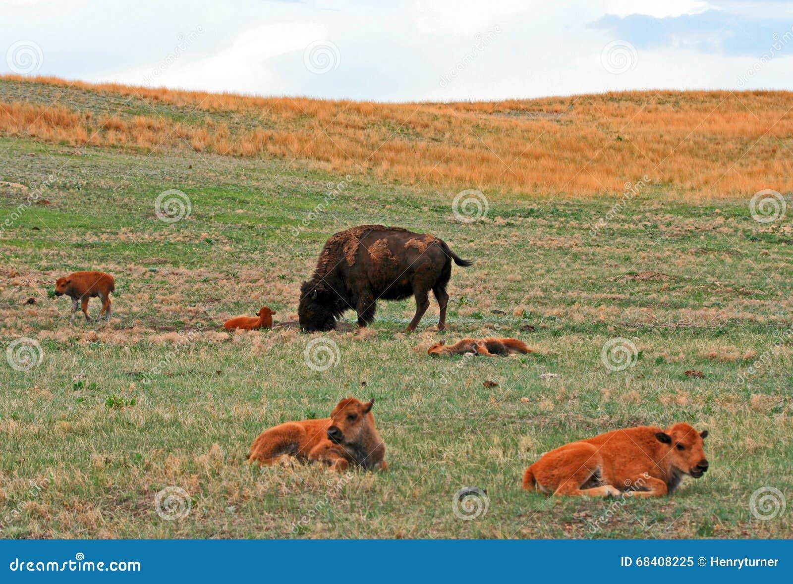 Bison Buffalo Cow med behandla som ett barn grottor i Custer State Park