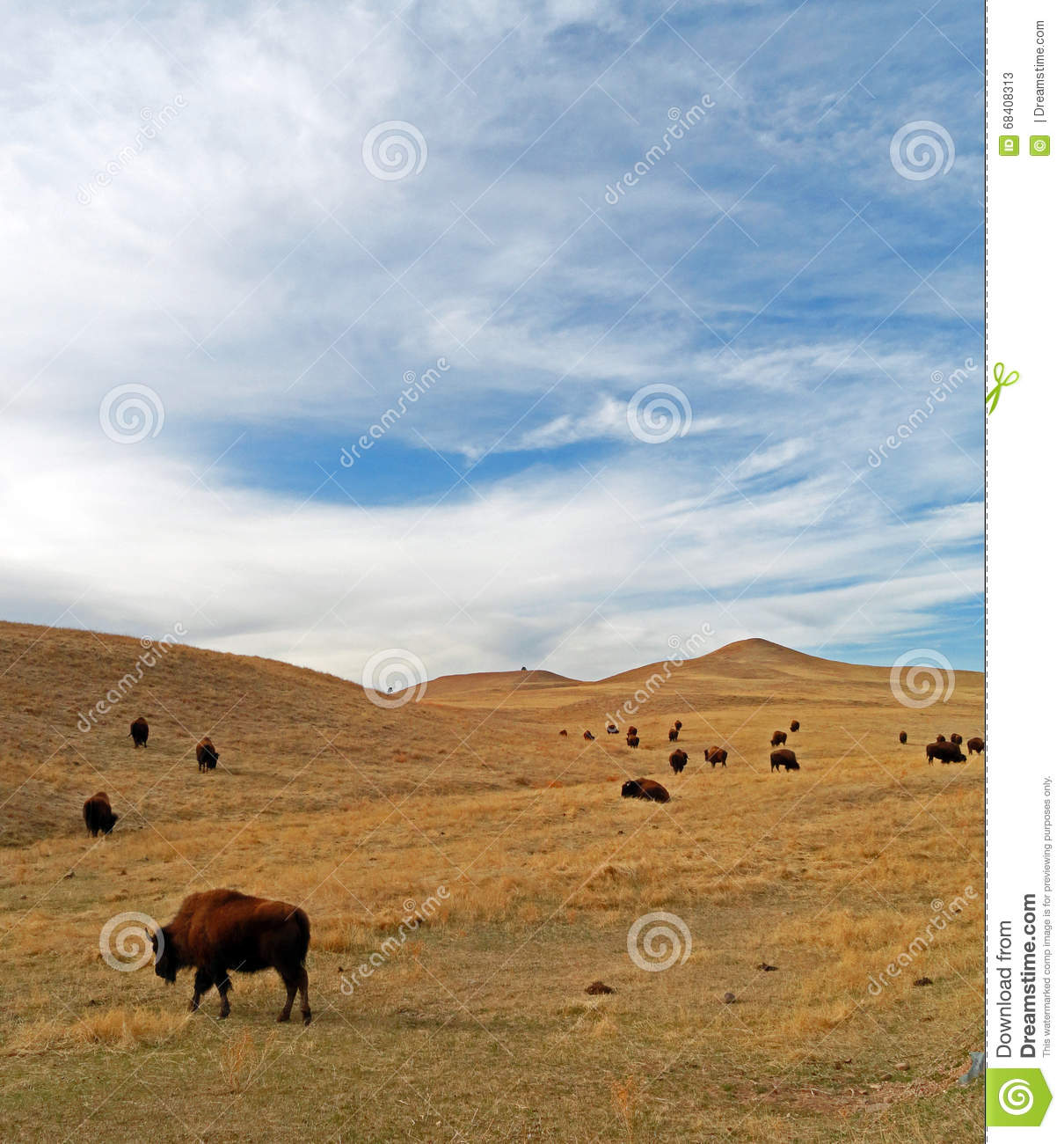 Bison Buffalo Herd in Custer State Park