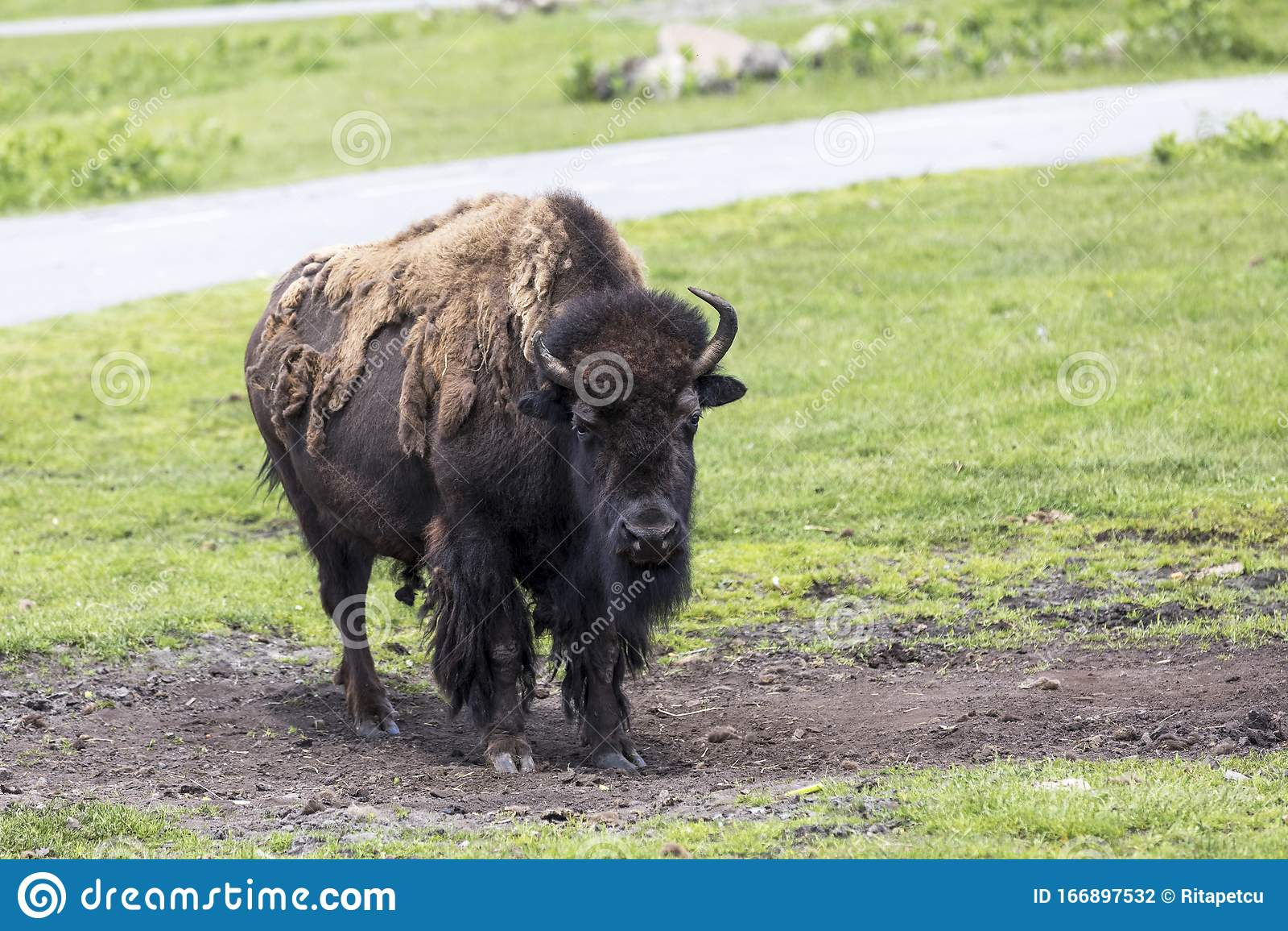 Western Whiskey Gazette (WWG): Buffalo Dierssenicus - Updates!