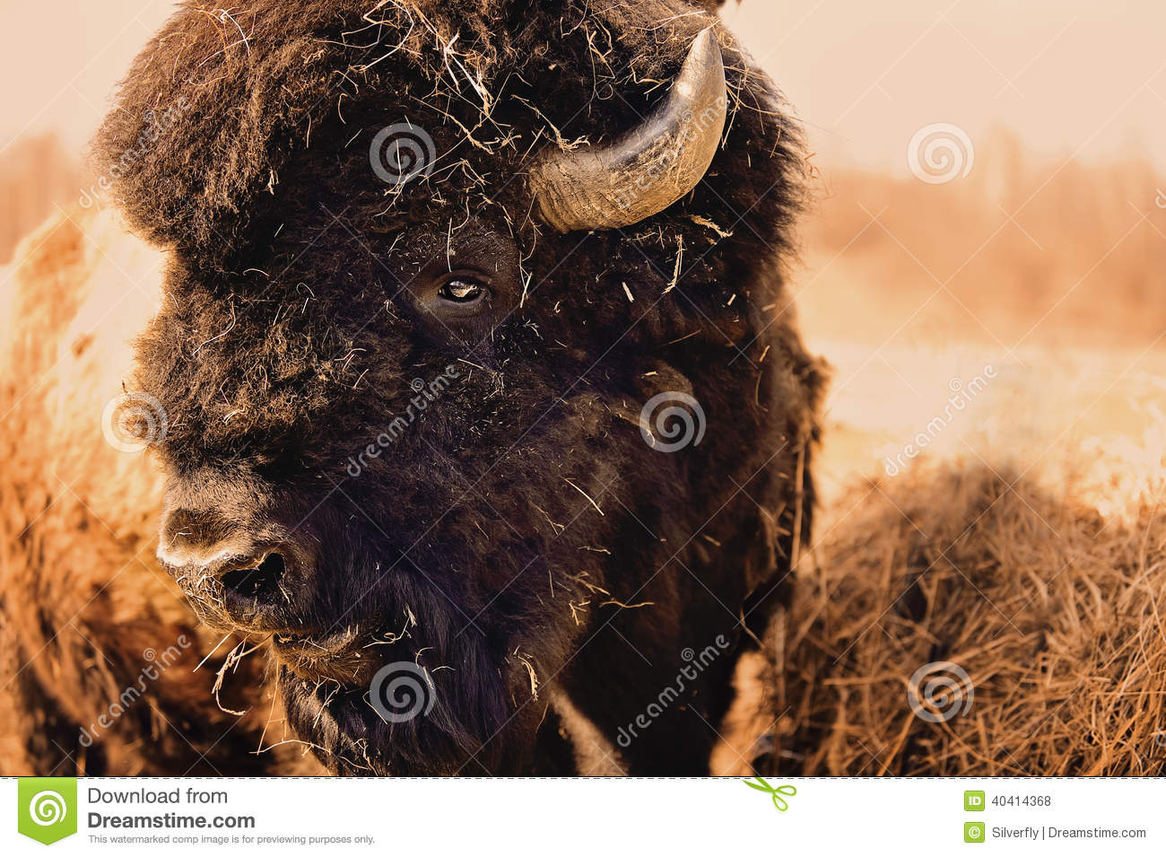 A Bison Eats Bison Bull Stock Photo...